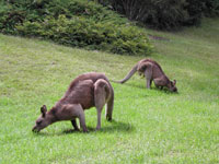 Lodge Kangaroos